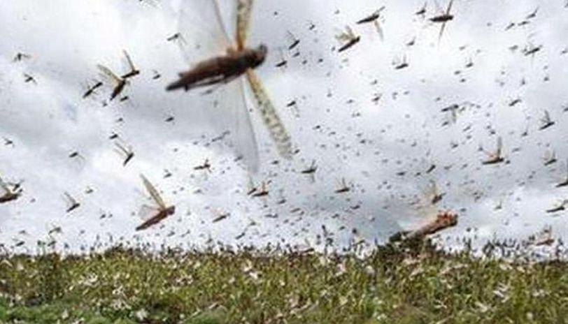 locust swarms attack in India